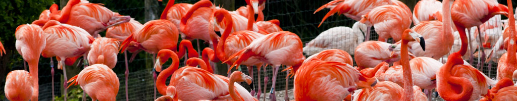 Flamingos-at-Chester-Zoo (shutterstock, Brian Maudsley)