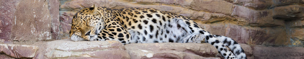 Leopard at Marwell Zoo (shutterstock, Zahorskyi Vitalii)