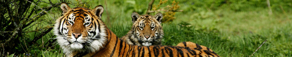 Tiger-at Paignton Zoo (shutterstock, slowmotiongli)