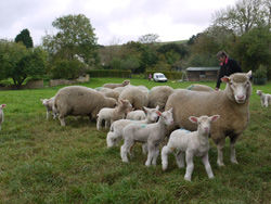 Poll Dorset Sheep