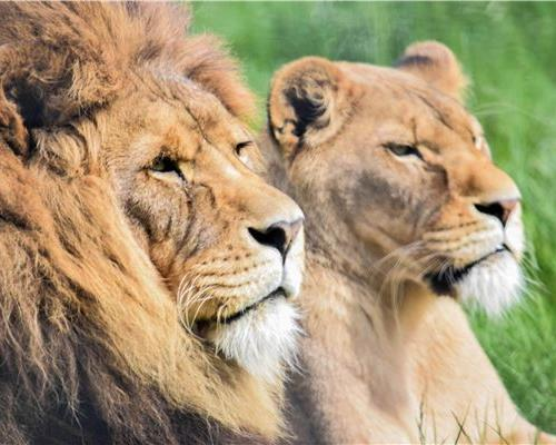 The lion couple, Masai and Arusha at Noah's Ark