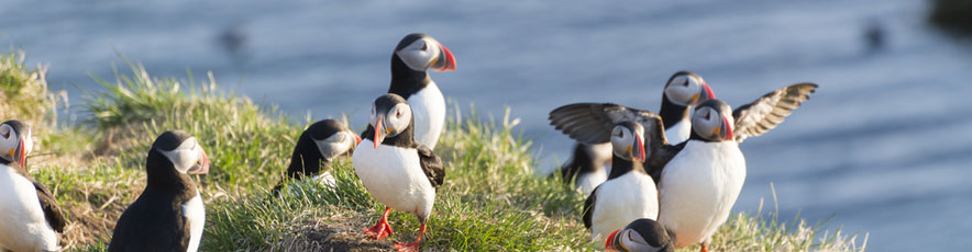 puffins (shutterstock, Jeffdongphotography)