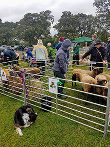 Livestock judging is a key part of local country shows
