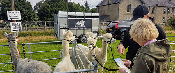 Getting up close and personal with no spitting – from the alpacas