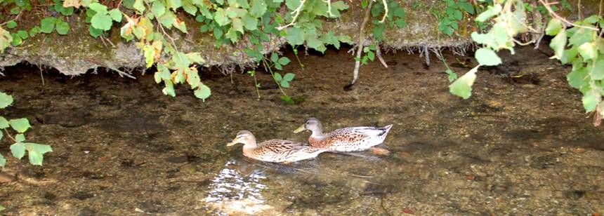 Ducks in the mill stream at Camping Le Moulin, Deux-Sevres, central France
