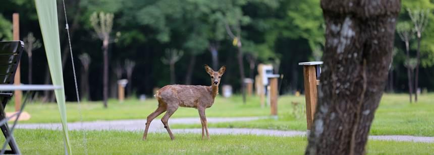 Deer at campsite L'Orangerie de Beauregard, between Tours and Blois, Loire Valley, France