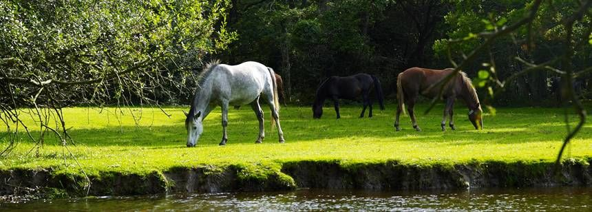 New Forest Ponies Grazing by the Banks of a Stream at the Aldridge Hill Camp Site, the New Forest