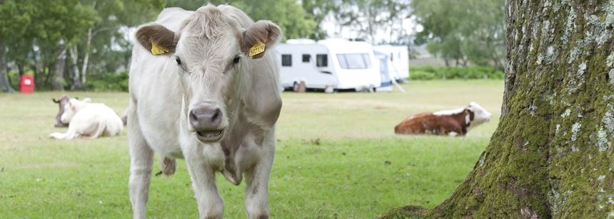 Cows enjoying the grass at Denny Wood Campsite