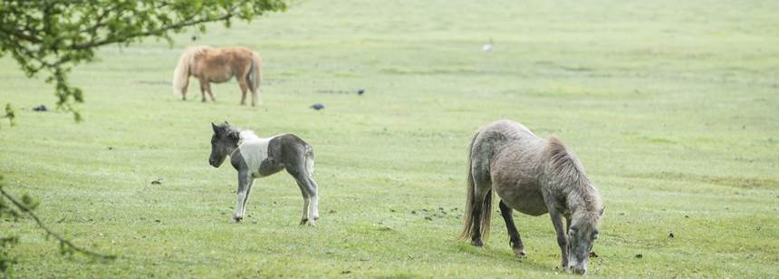 Ponies roaming free on Hollands Wood Campsite