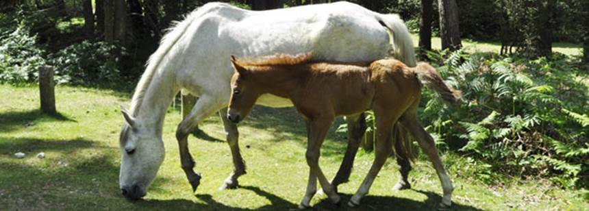 Ponies roaming the land on Ocknell Campsite