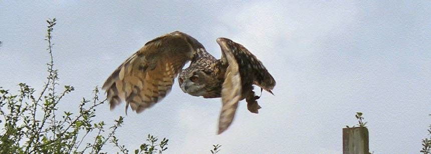An owl in flight at The Screech Owl Sanctuary next door